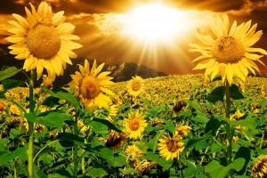 sunflowers w: bursting sun